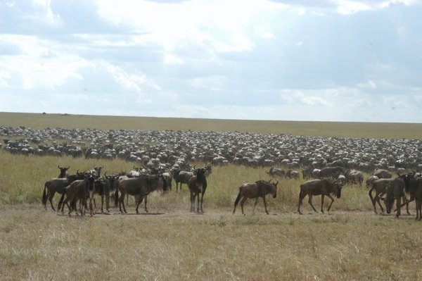 The herds arrived at the border between the Masai Mara and the Serengeti