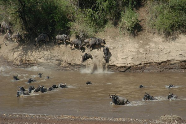An easy crossing for the wildebeest herds this year