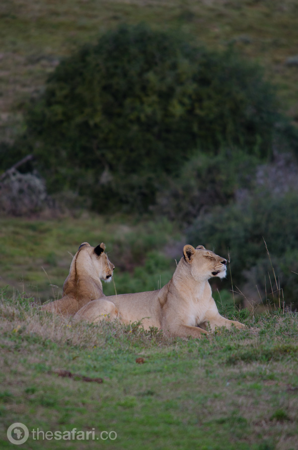 Shamwari Lions