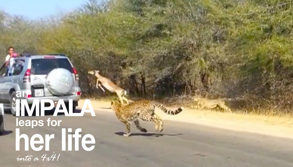 Impala Escapes Certain Death…By Leaping Into A 4×4