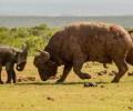 Ellie vs Buffalo by Conrad Cramer