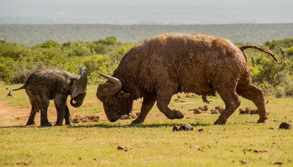 Brave Elephant Stands His Ground